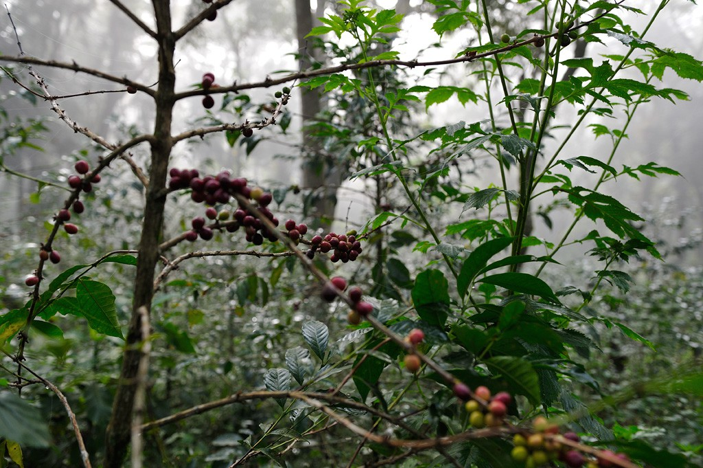 Kaffee im Bergnebelwald