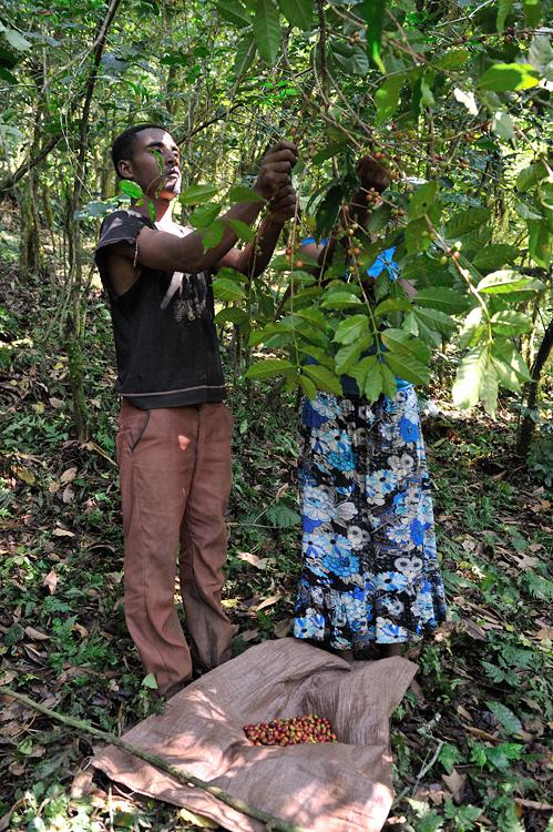 Ernte von äthiopischem Waldkaffee