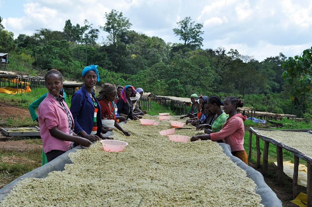 Arbeiterinnen beim Säubern von gewaschenem Kaffee