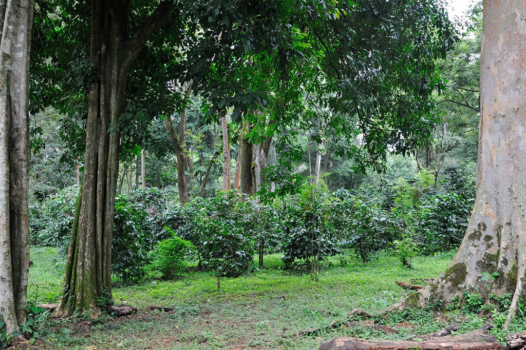 Äthiopischer Plantagenkaffee