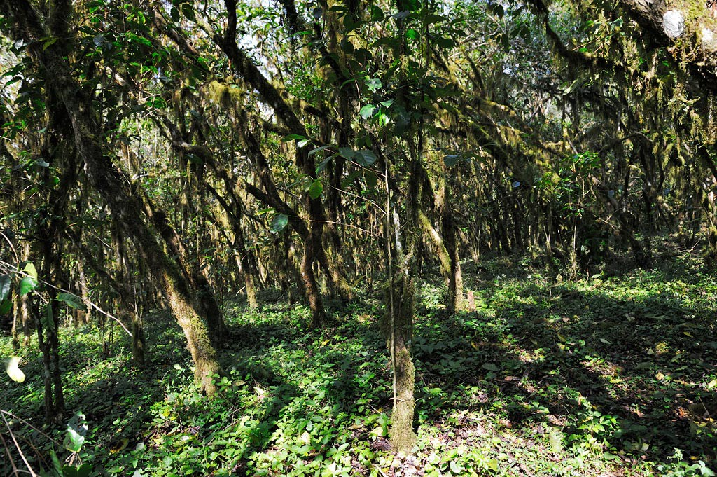 Wild Coffee forest, Bonga, Ethiopia