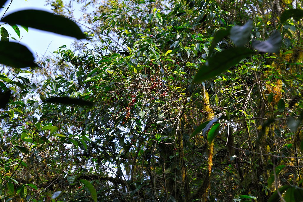 Wild coffee trees can grow up to a height of 8m