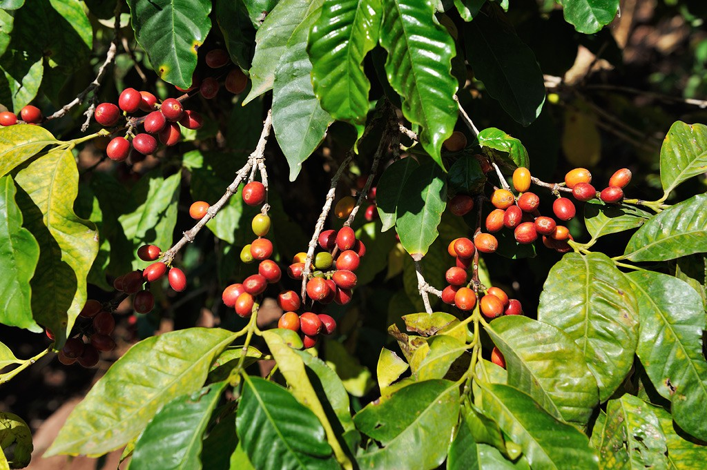 Ethopian Arabica Coffee (Harar)